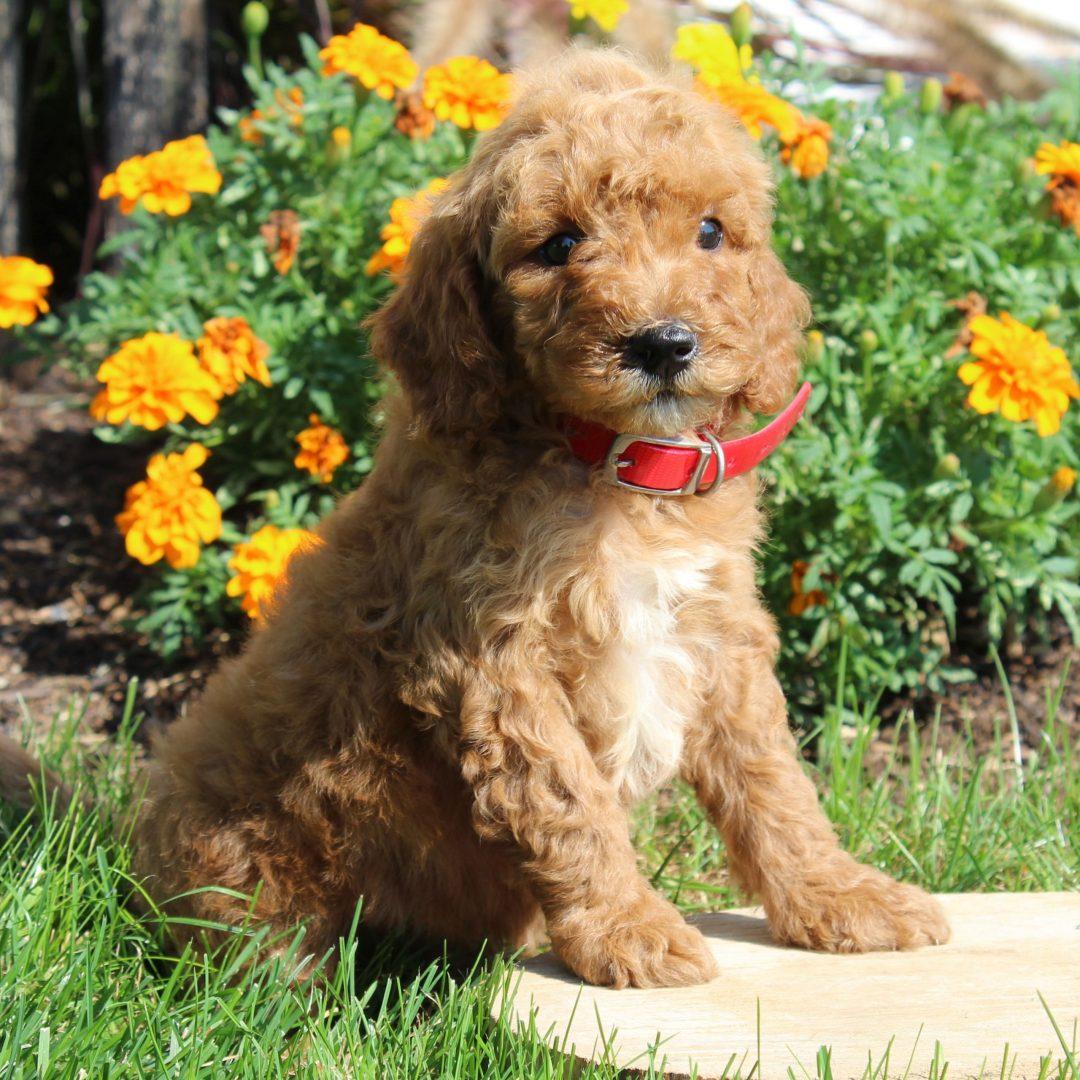 Merle- F1b Mini Goldendoodle puppie for sale near Gordonville, Pennsylvania