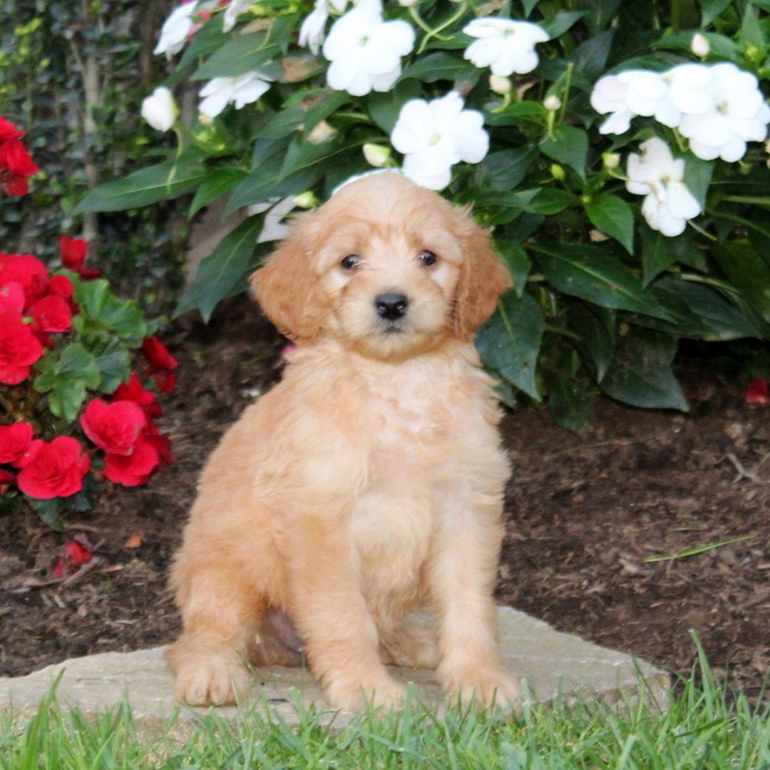 Merv - pup f1b Mini Goldendoodle for sale near Strasburg, Pennsylvania