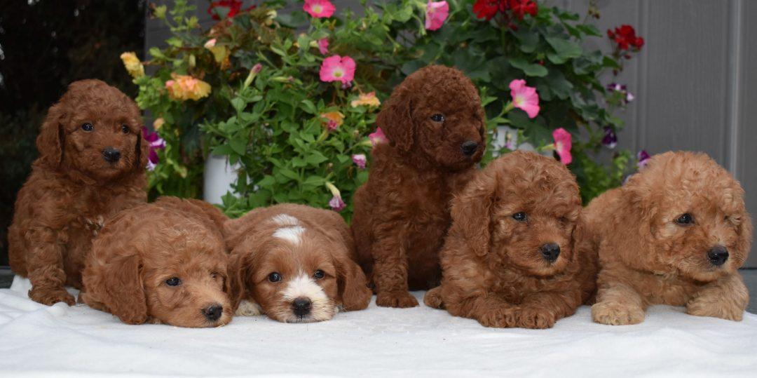 Kayden - doggie f1b Mini Goldendoodle for sale at Sunbury, Pennsylvania