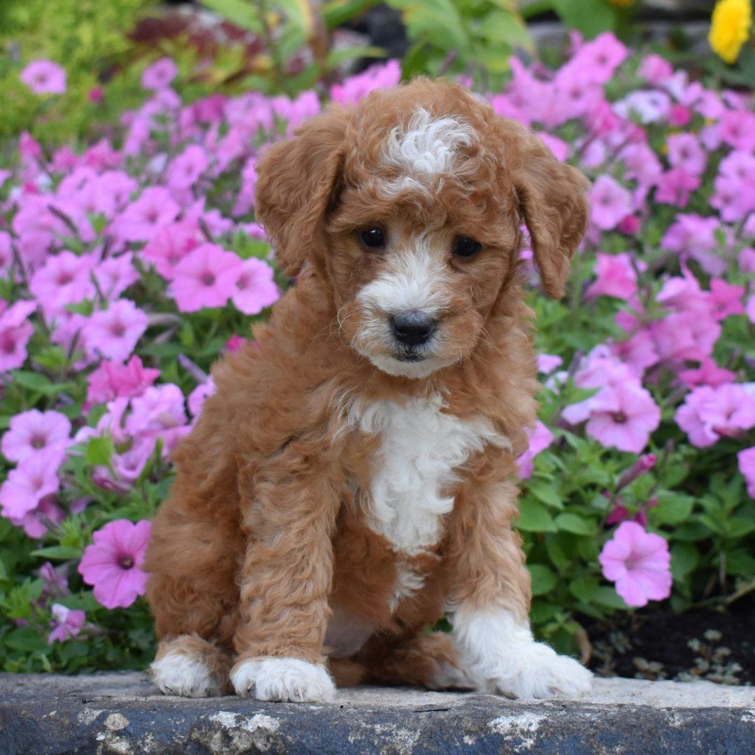 Abbie - f1b Mini Goldendoodle doggie for sale in Millersburg, Pennsylvania