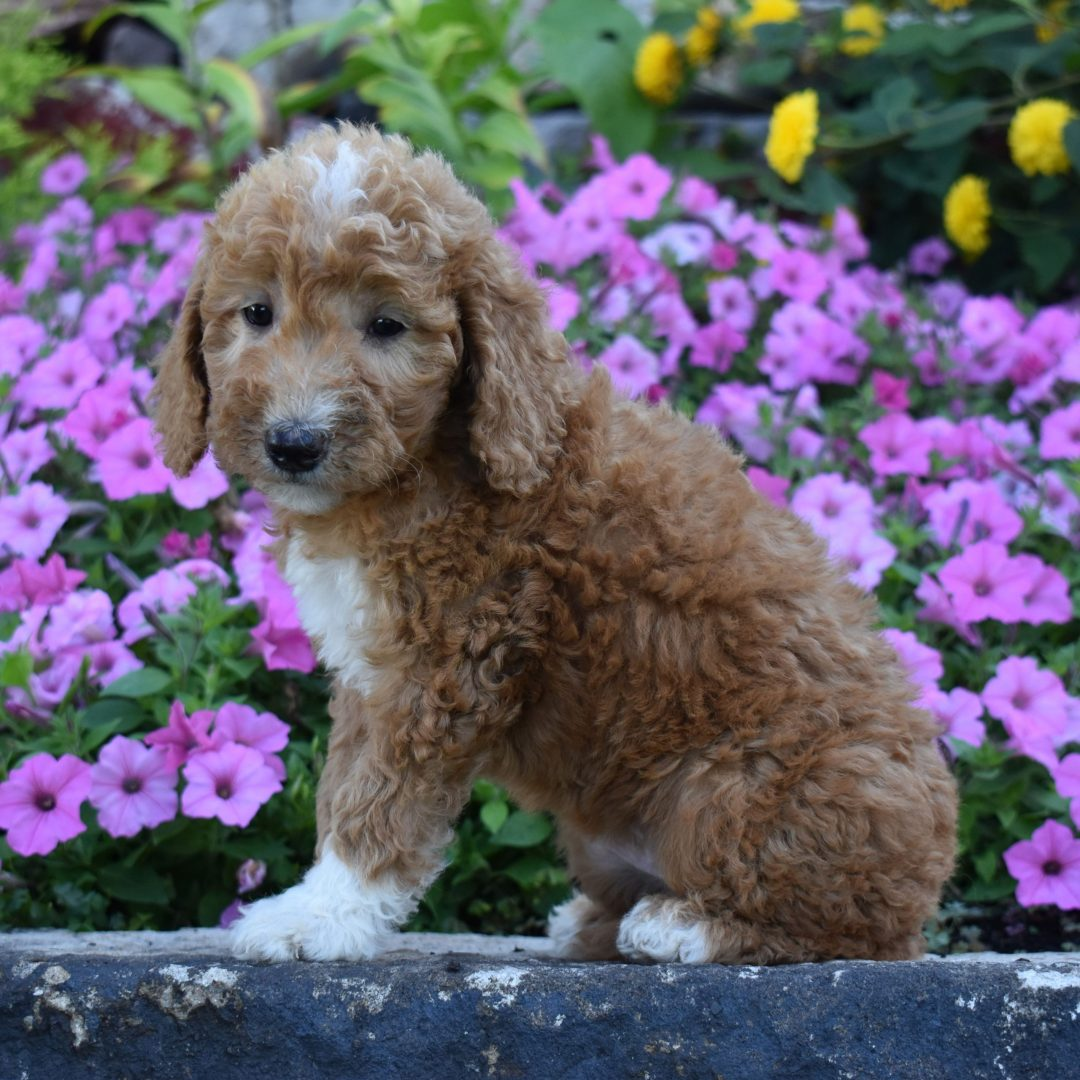 Amber - puppy f1b Mini Goldendoodle for sale at Millersburg, Pennsylvania