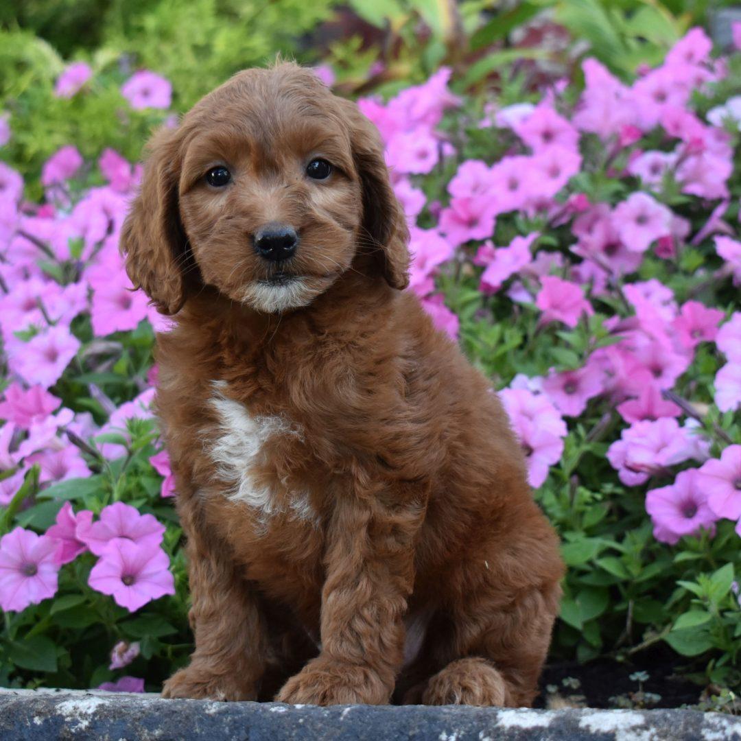 Aubrey - f1b Mini Goldendoodle puppie for sale at Millersburg, Pennsylvania