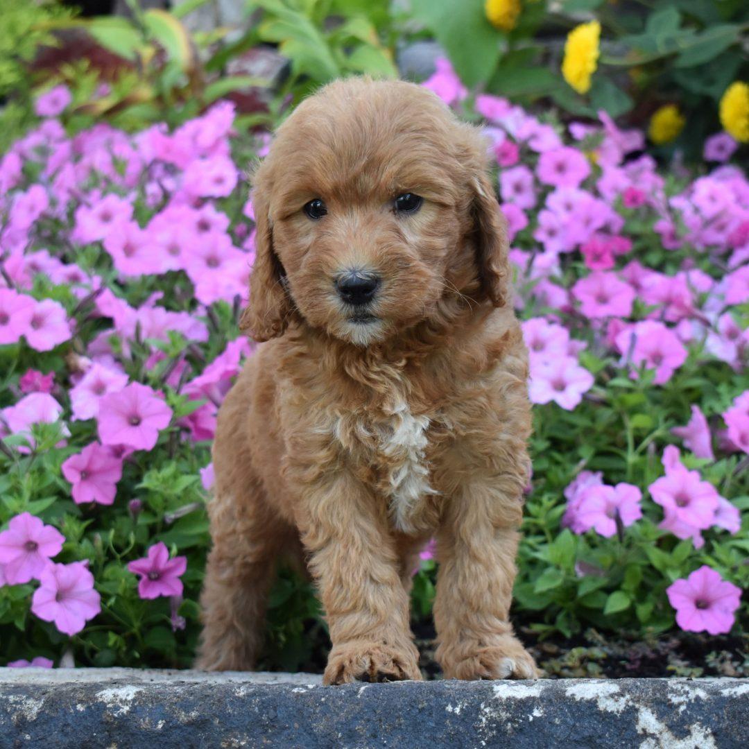 Aura - female f1b Mini Goldendoodle doggie for sale near Millersburg, Pennsylvania