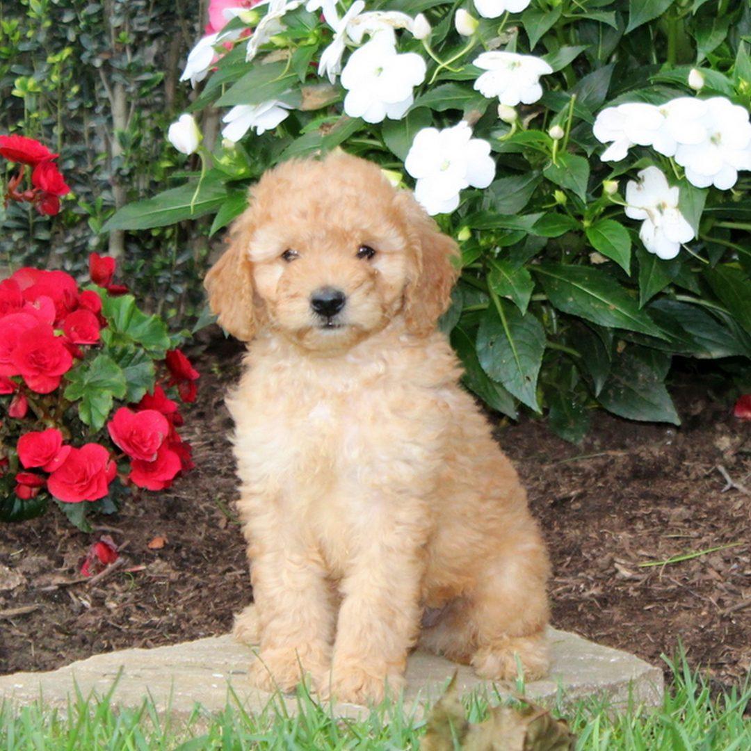 Mitch - f1b Mini Goldendoodle puppie for sale at Strasburg, Pennsylvania