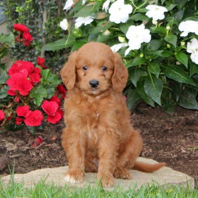 Molly - f1b Mini Goldendoodle puppy for sale in Strasburg, Pennsylvania