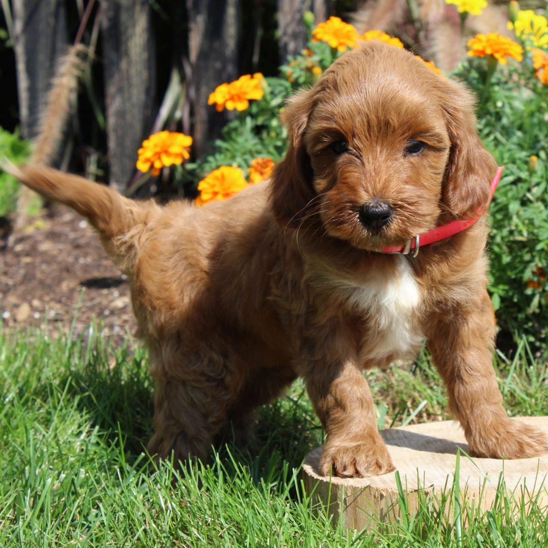 Molly- F1b Mini Goldendoodle puppie for sale at Gordonville, Pennsylvania