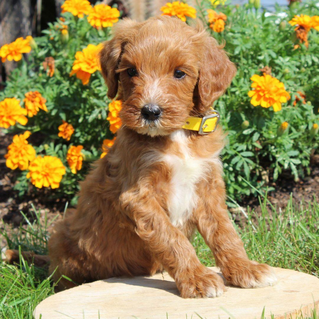 Monica- F1b Mini Goldendoodle puppy for sale at Gordonville, Pennsylvania
