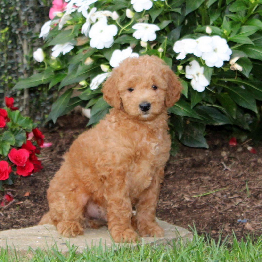 Monty - f1b Mini Goldendoodle doggie for sale near Strasburg, Pennsylvania