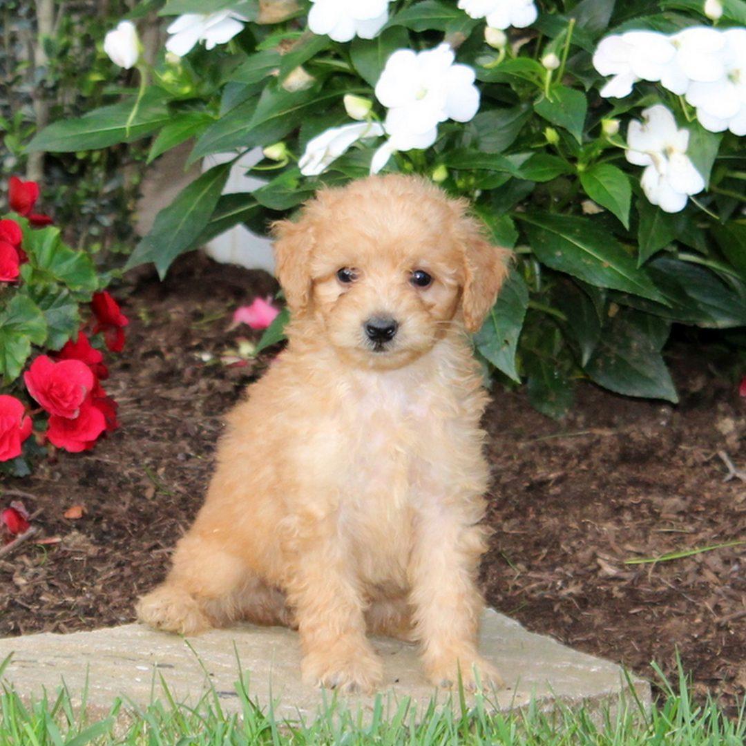 Muffin - puppy f1b Mini Goldendoodle for sale in Strasburg, Pennsylvania
