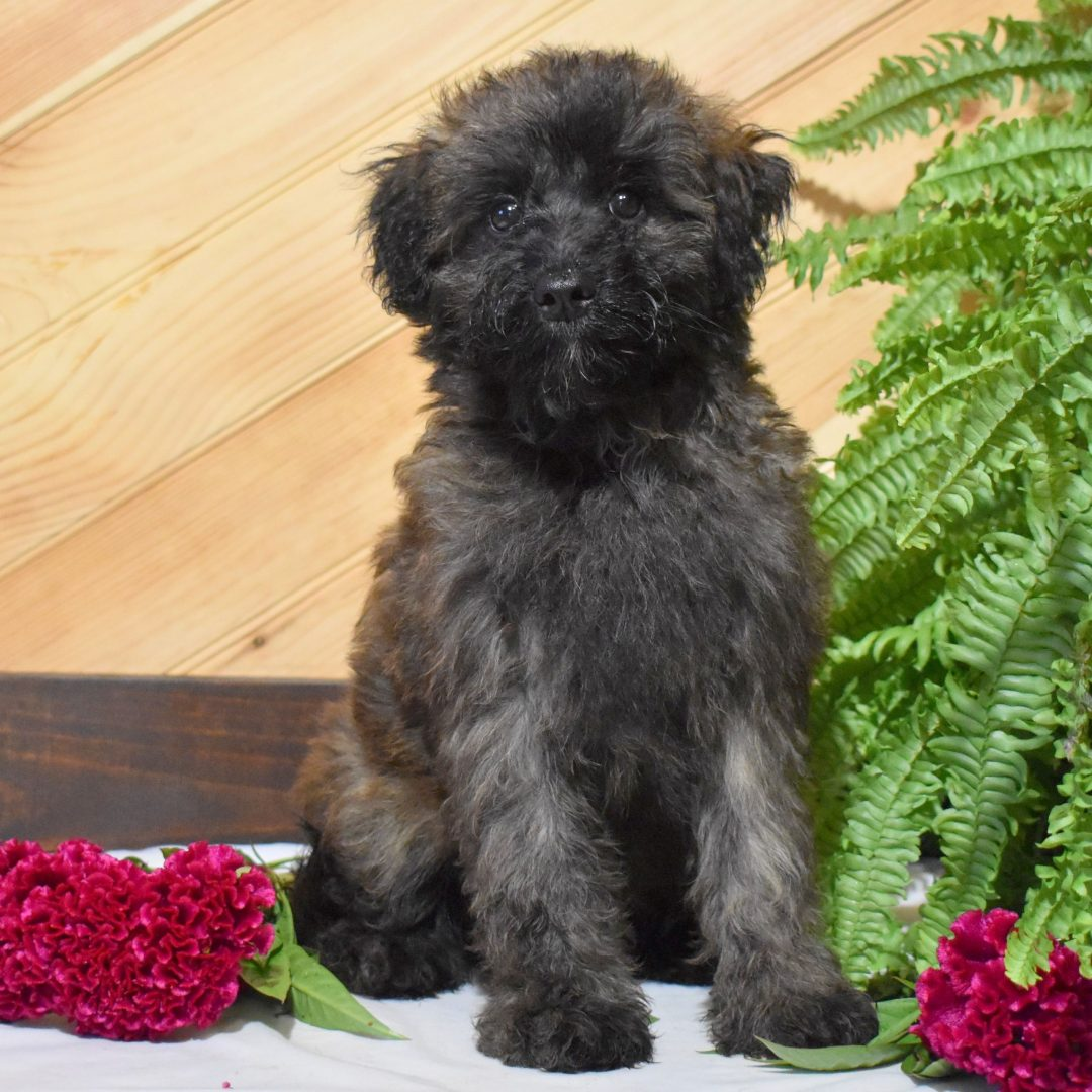 Natalie - pupper Mini Whoodle for sale at Millersburg, Pennsylvania