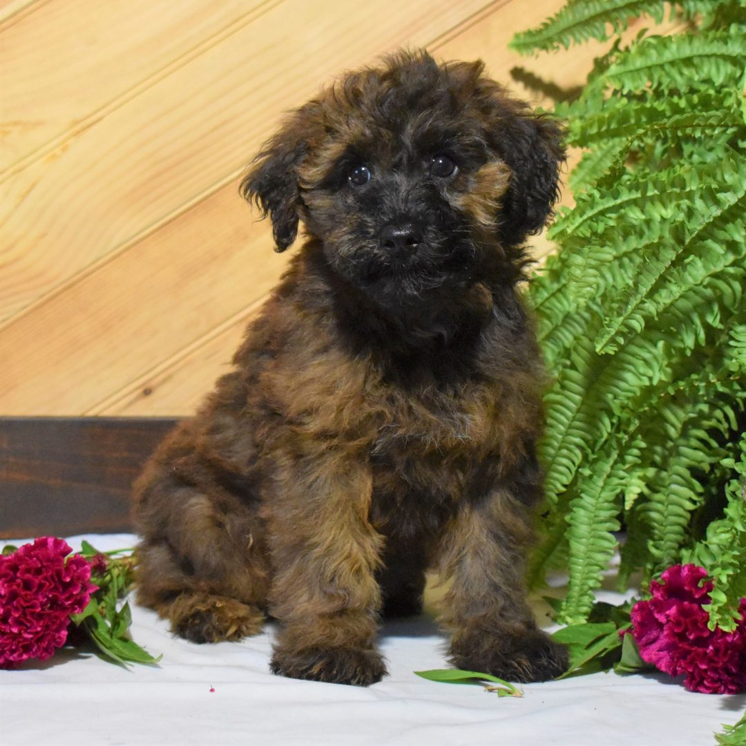 Natasha - Mini Whoodle pup for sale in Millersburg, Pennsylvania
