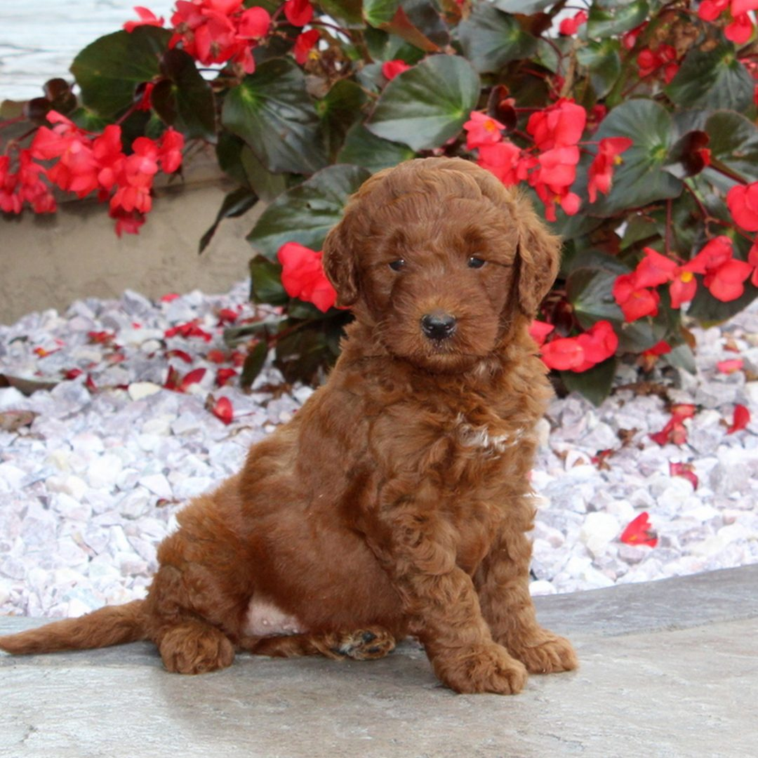 Nate - F1b Mini Goldendoodle pupper for sale in Christiana, Pennsylvania