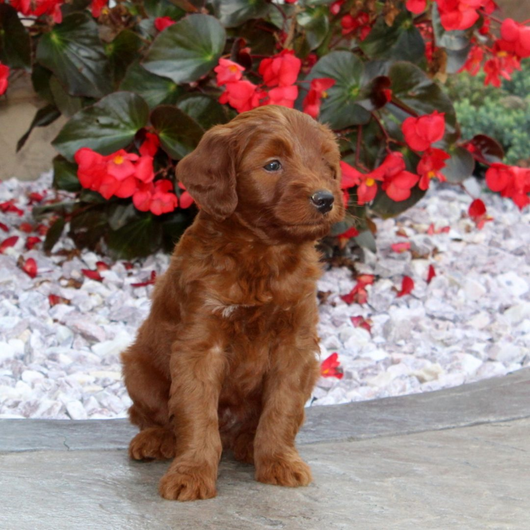 Ned - F1b Mini Goldendoodle puppie for sale at Christiana, Pennsylvania