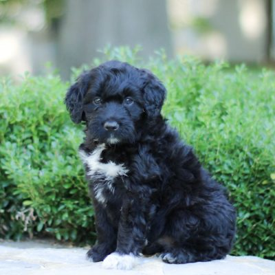 Neil - AKC Portuguese Water Dog pup for sale at Lancaster, Pennsylvania