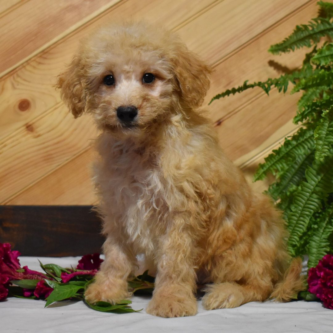 Neil - Mini Whoodle doggie for sale in Millersburg, Pennsylvania