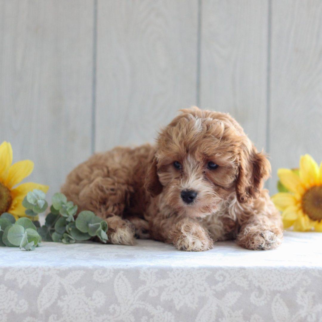 Nell - F1 Cavapoo doggie for sale near Gordonville, Pennsylvania