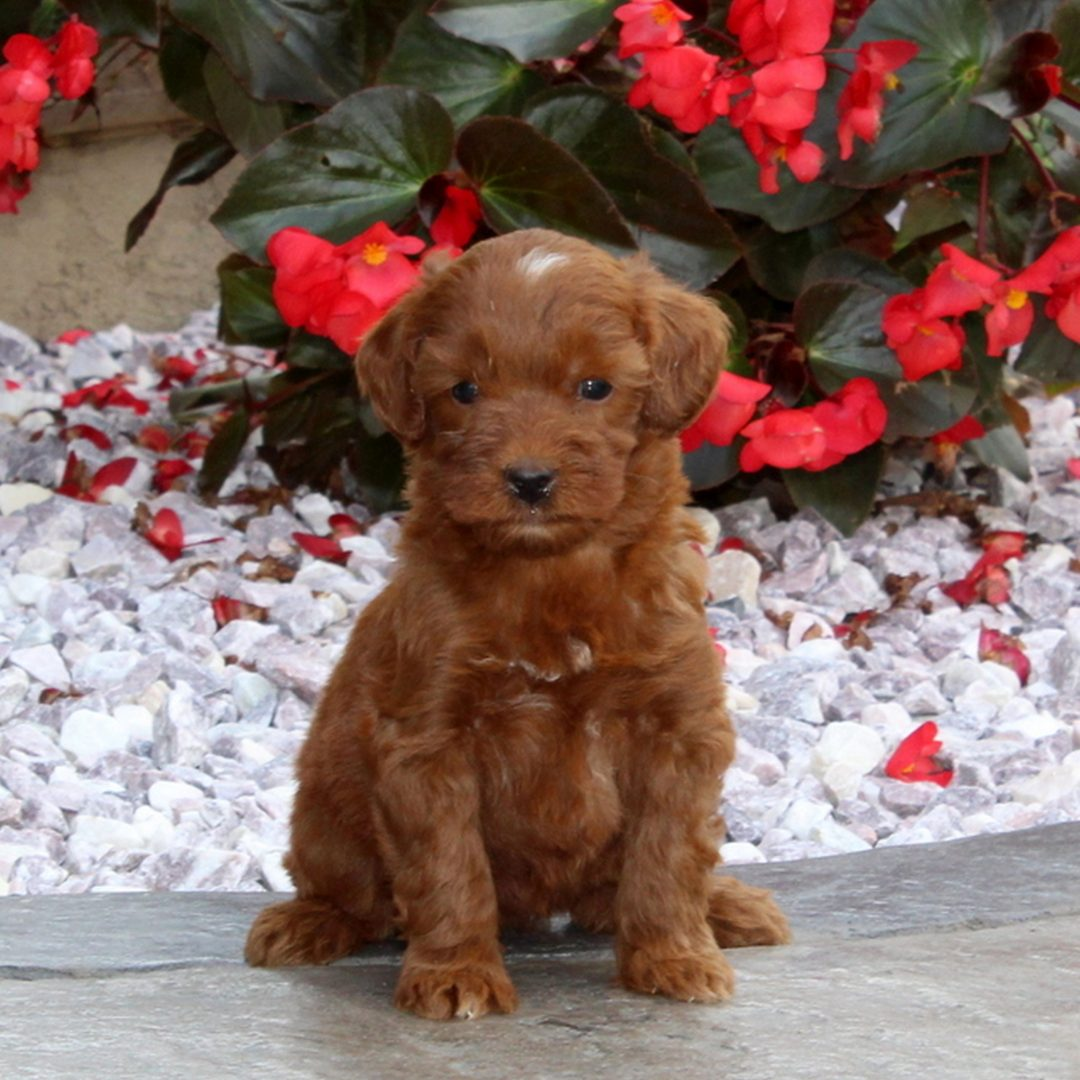 Nellie - puppy F1b Mini Goldendoodle for sale at Christiana, Pennsylvania
