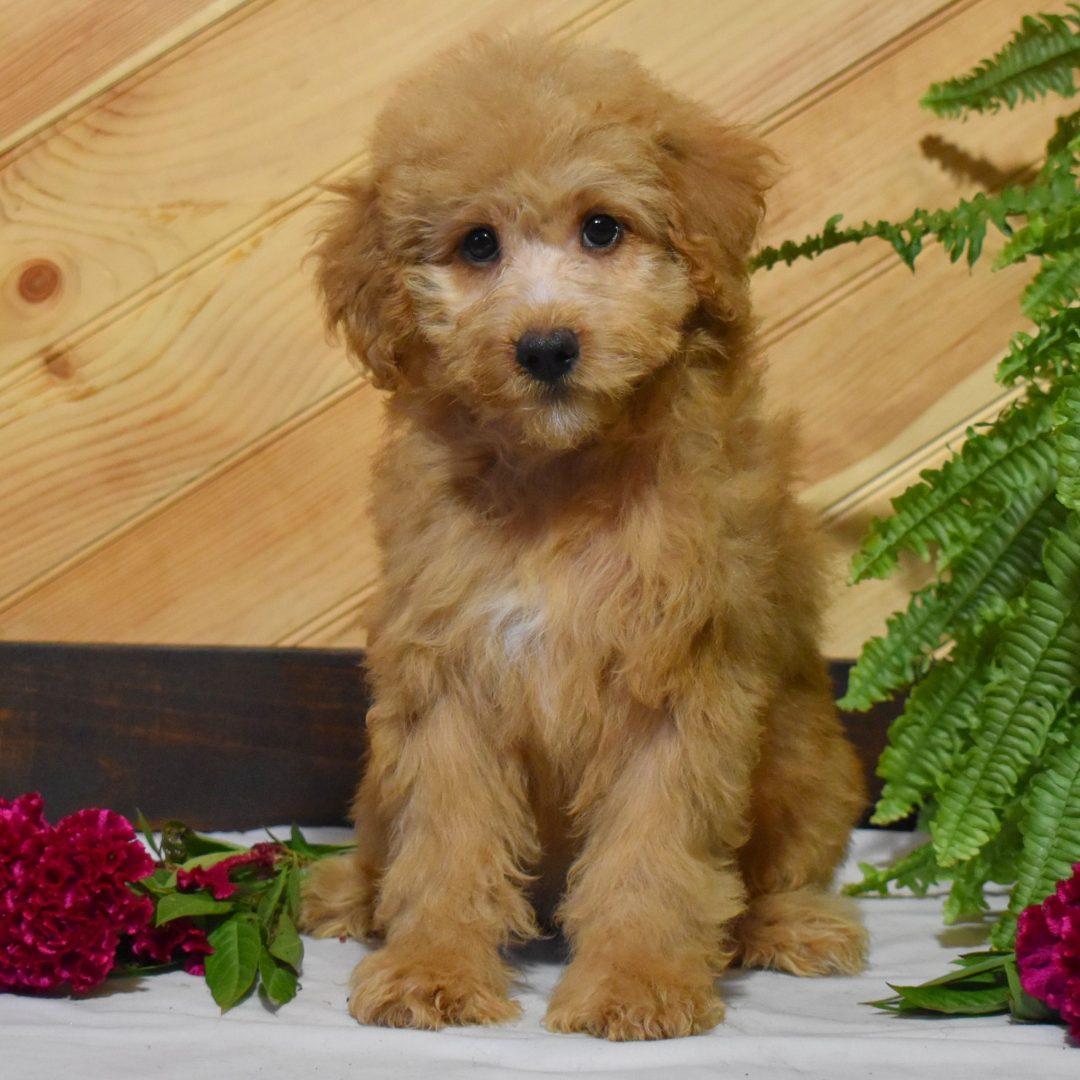 Neva- Mini Whoodle puppie for sale near Millersburg, Pennsylvania
