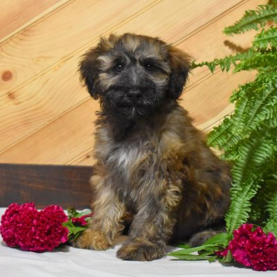 Nicholas - Mini Whoodle puppy for sale at Millersburg, Pennsylvania