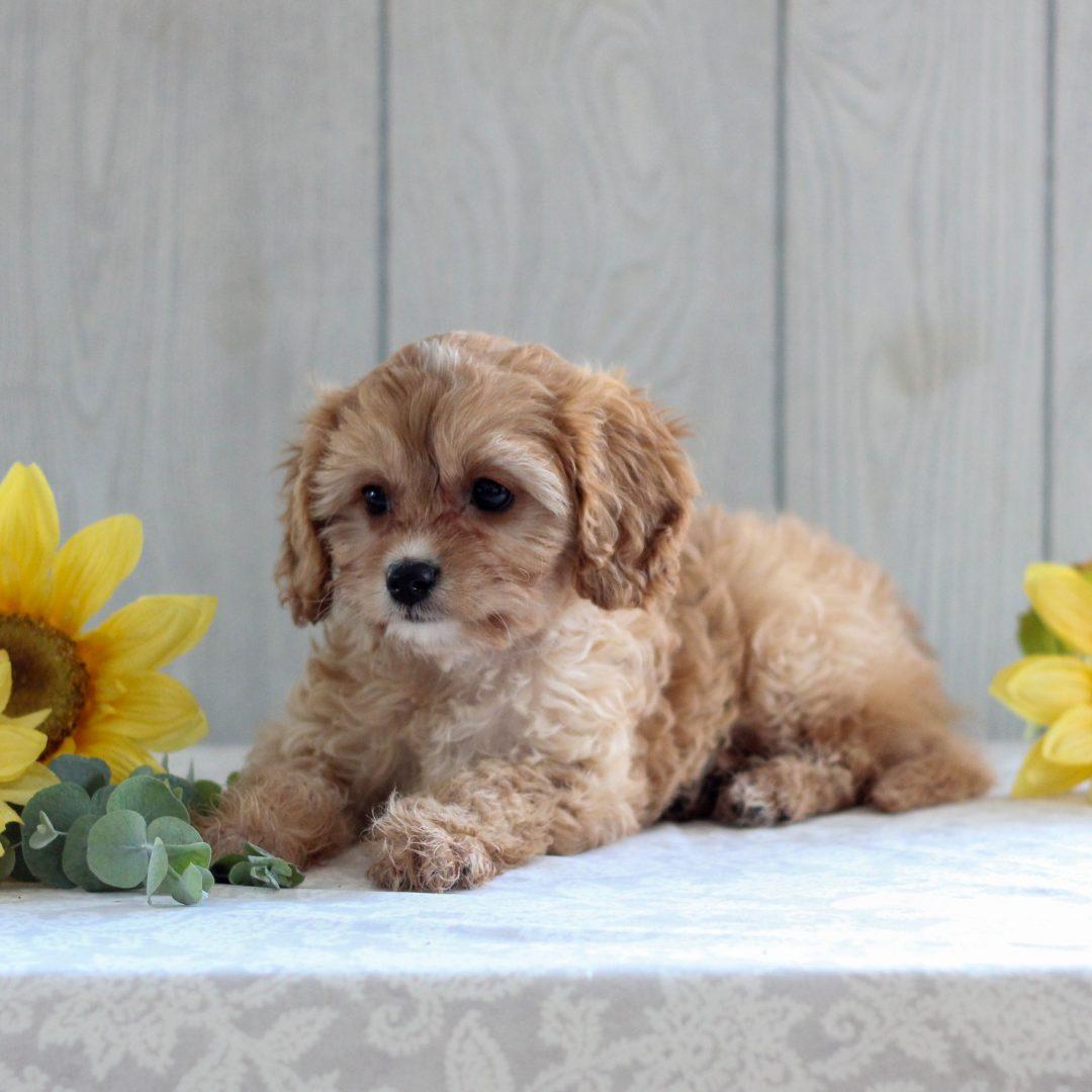 Nikki - F1 Cavapoo puppy for sale in Gordonville, Pennsylvania