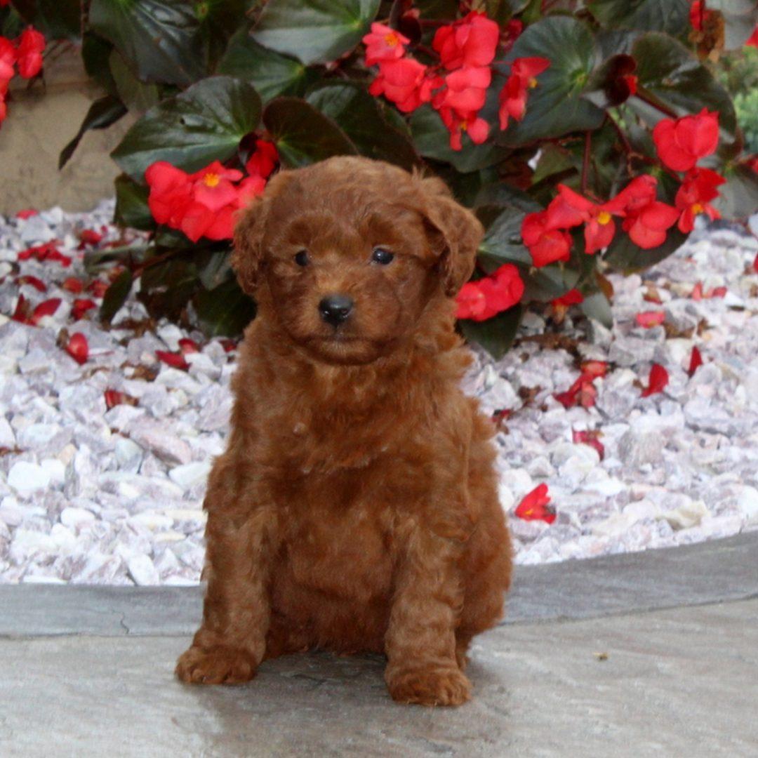 Noel - F1b Mini Goldendoodle pup for sale near Christiana, Pennsylvania