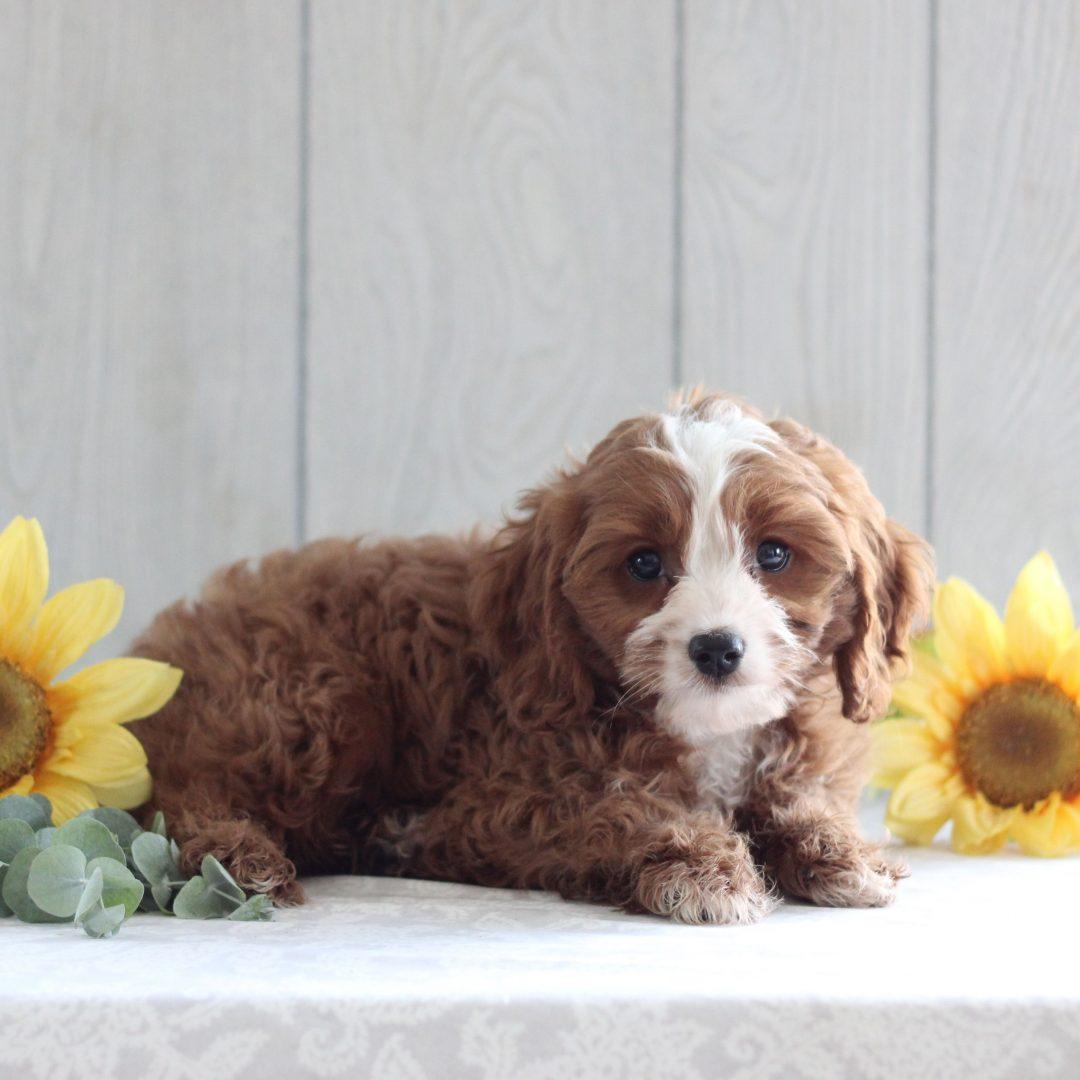 Norris- F1 Cavapoo pup for sale at Gordonville, Pennsylvania