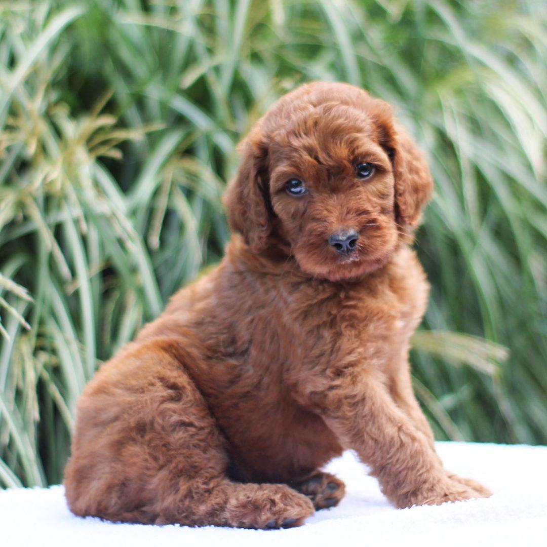 Ollie - F1 Standard Irish Doodle doggie for sale in Kinzers, Pennsylvania