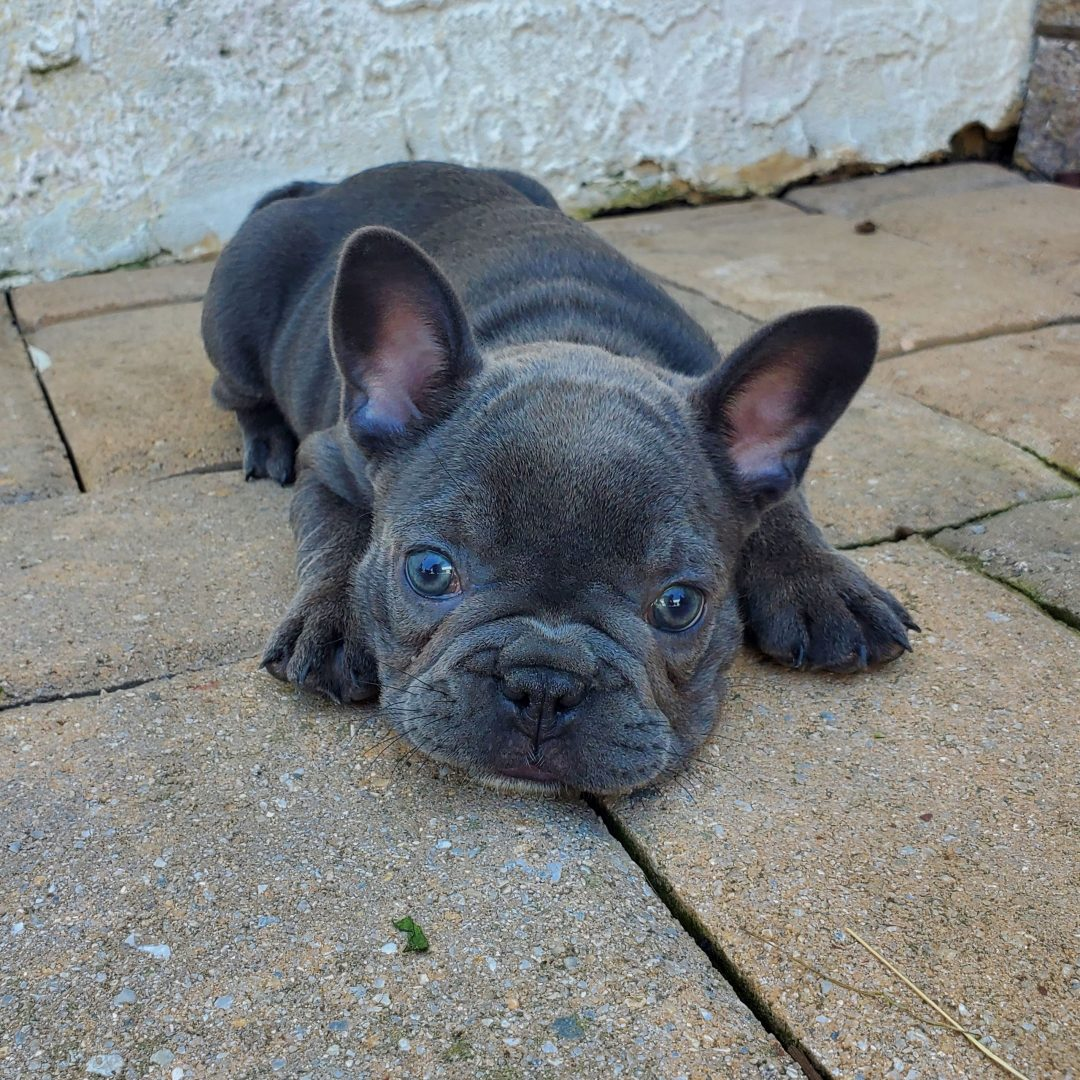 Ollie - AKC French Bulldog male pup for sale in Honey Brook, Pennsylvania