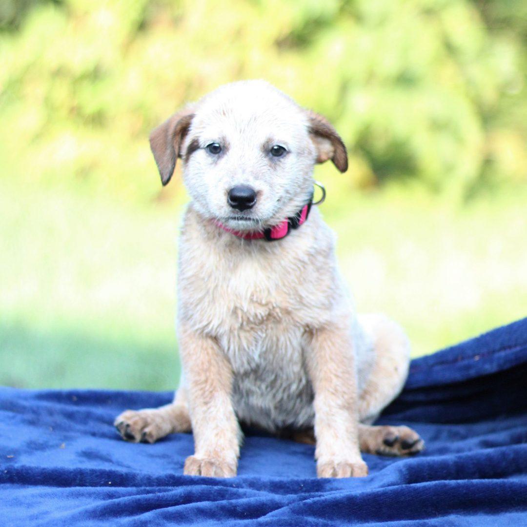 Panda- Australian Cattledog/ Blue Heeler doggie for sale at Greencastle, Pennsylvania