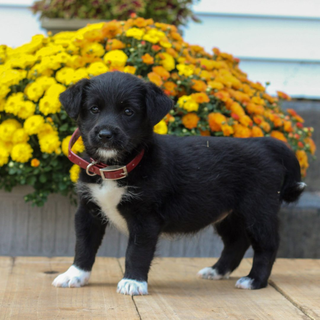 Patch - f1 Mini Pooshi puppie for sale in Newmanstown, Pennsylvania