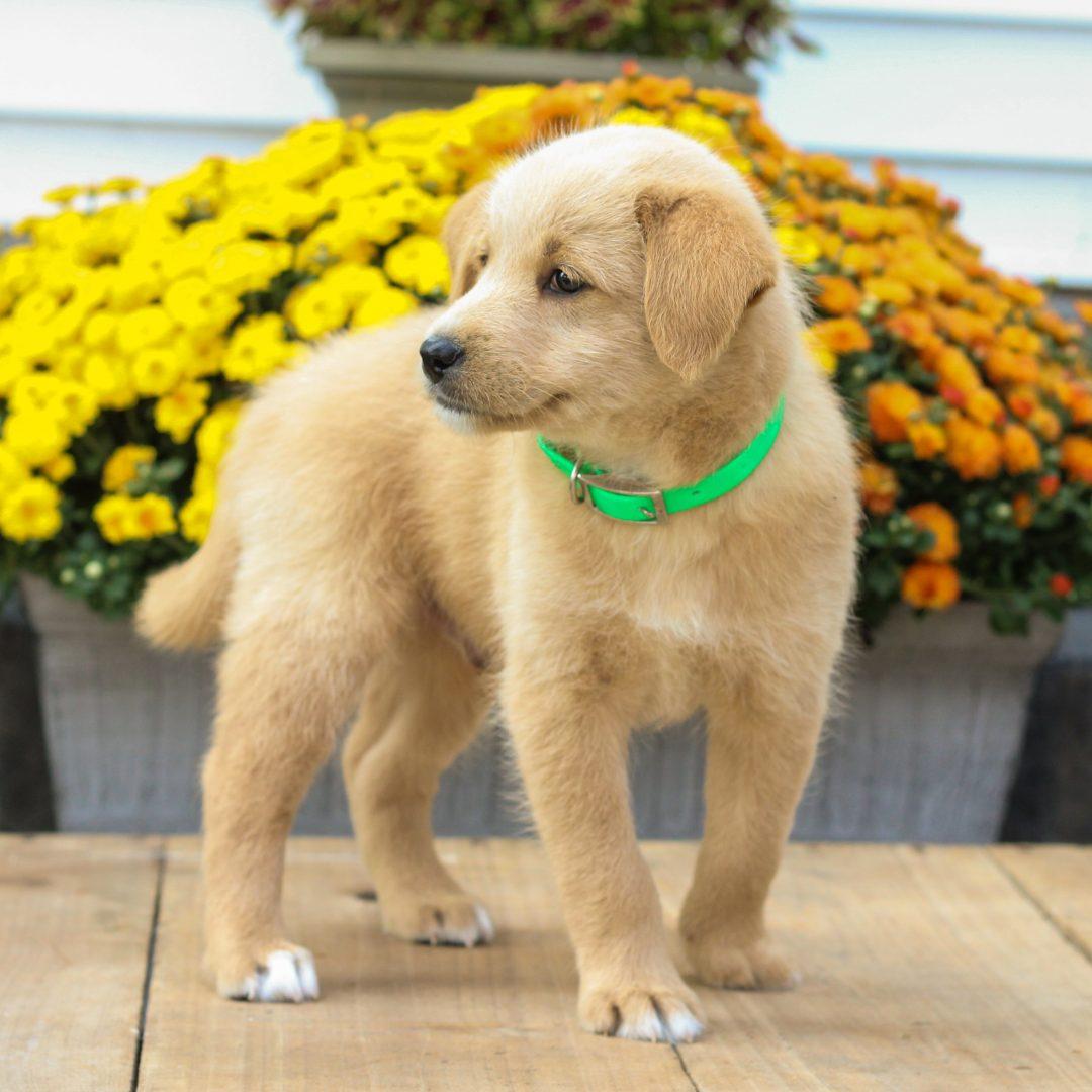 Patrick - f1 Mini Pooshi doggie for sale at Newmanstown, Pennsylvania
