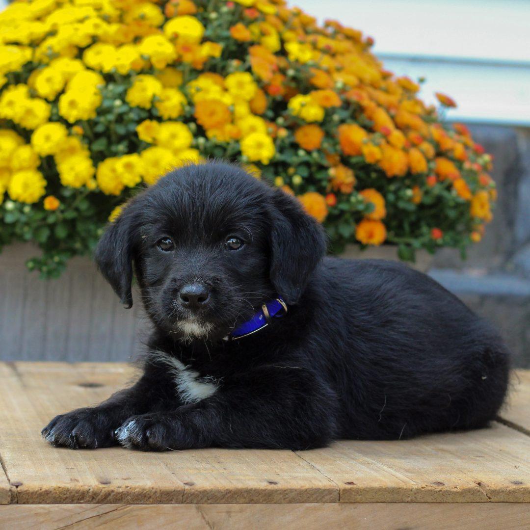 Penn- f1 Mini Pooshi pup for sale in Newmanstown, Pennsylvania