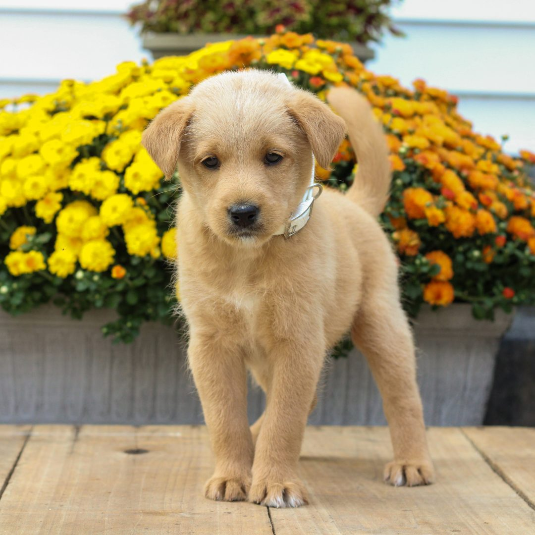 Pete - male f1 Mini Pooshi pupper for sale at Newmanstown, Pennsylvania