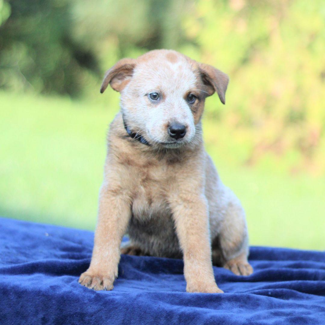 Pete - pupper Australian Cattledog/ Blue Heeler for sale near Greencastle, Pennsylvania