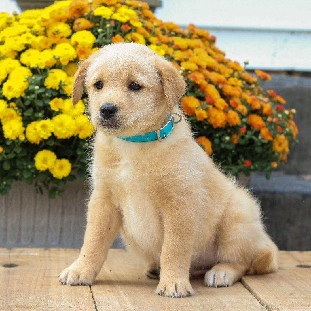 Peter - f1 Mini Pooshi puppy for sale near Newmanstown, Pennsylvania