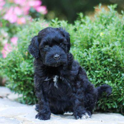Petunia - AKC Portuguese Water Dog