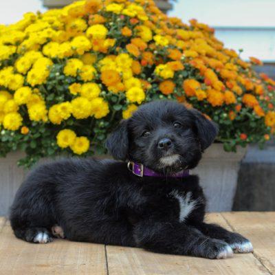 Petunia - pup f1 Mini Pooshi for sale at Newmanstown, Pennsylvania