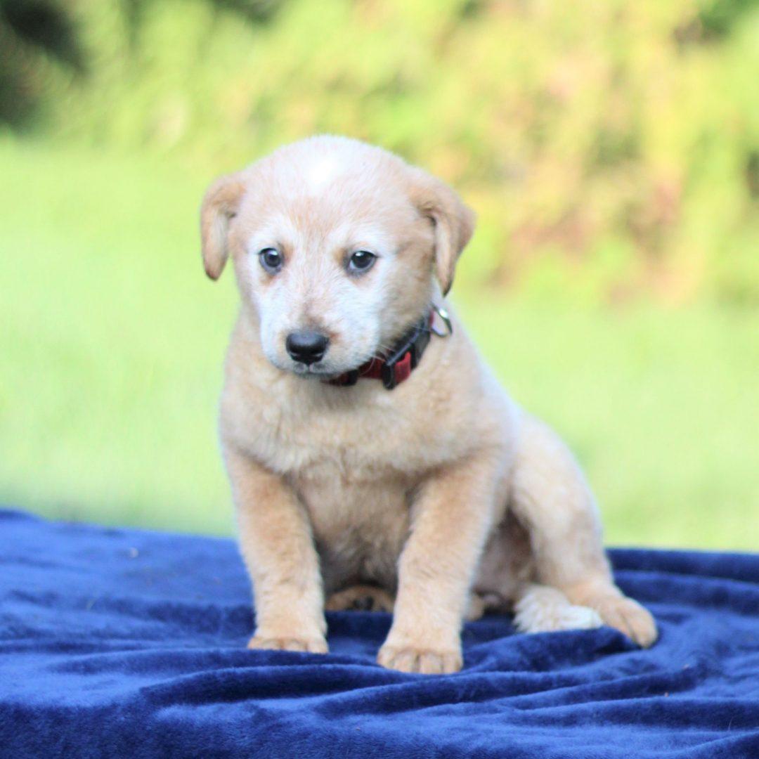 Piper - Australian Cattledog/ Blue Heeler pup for sale at Greencastle, Pennsylvania