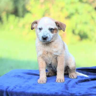 Polly - Australian Cattledog/ Blue Heeler puppie for sale in Greencastle, Pennsylvania