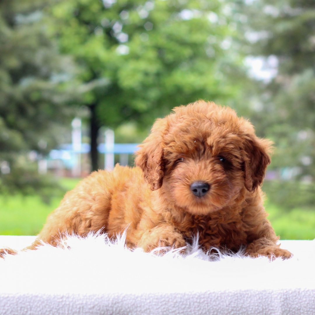 Queenie - Mini Goldendoodle doggie for sale near Newmanstown, Pennsylvania