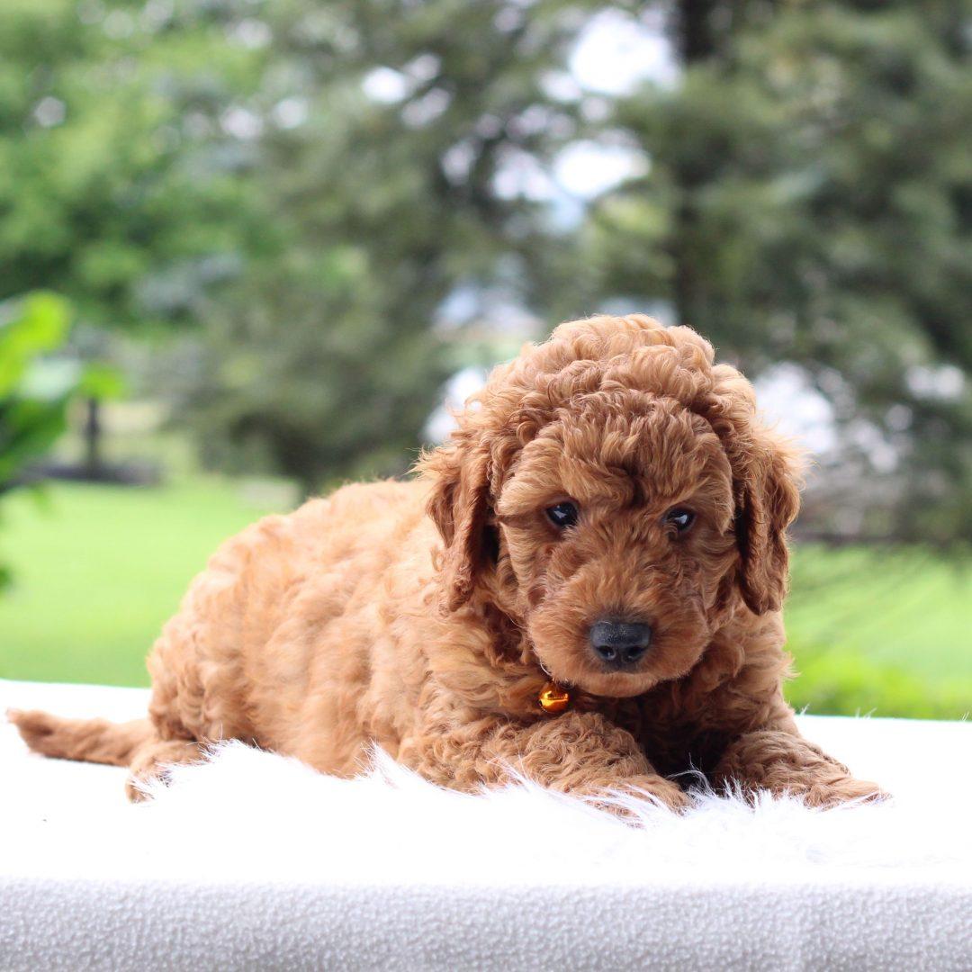 Quigley - Mini Goldendoodle