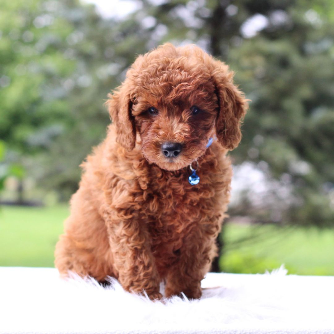 Quincy - Mini Goldendoodle pup for sale at Newmanstown, Pennsylvania