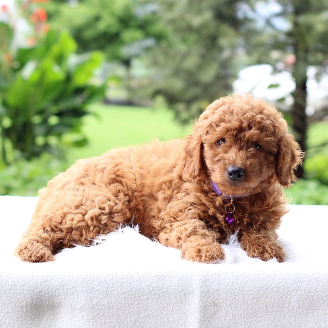 Quita - Mini Goldendoodle