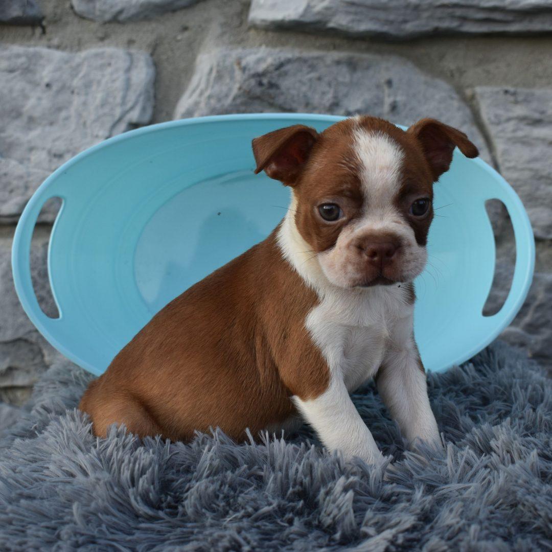 Rudy - ACA Boston Terrier doggie for sale near Liverpool, Pennsylvania