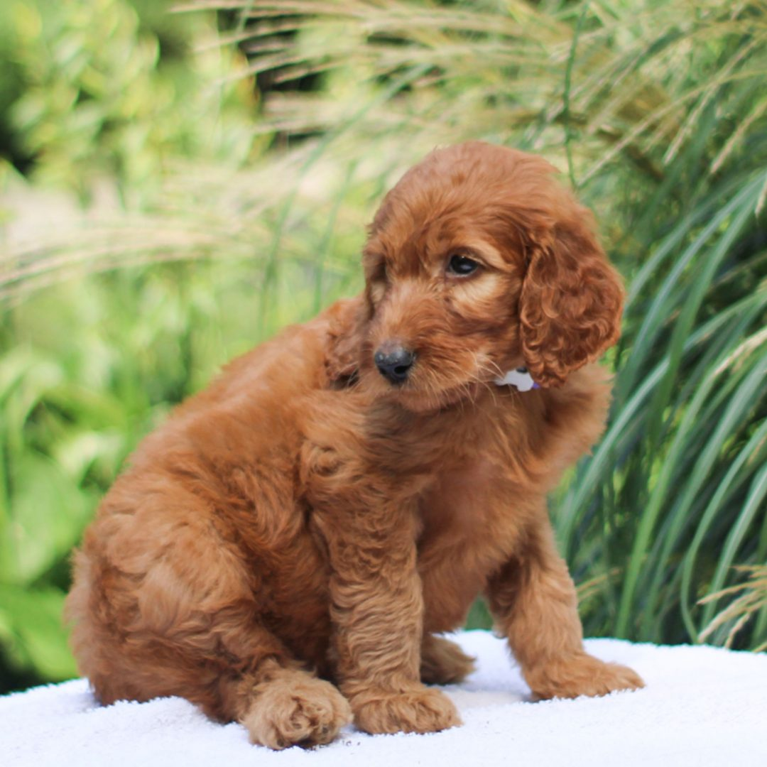 Sage - male F1 Standard Irish Doodle doggie for sale at Kinzers, Pennsylvania