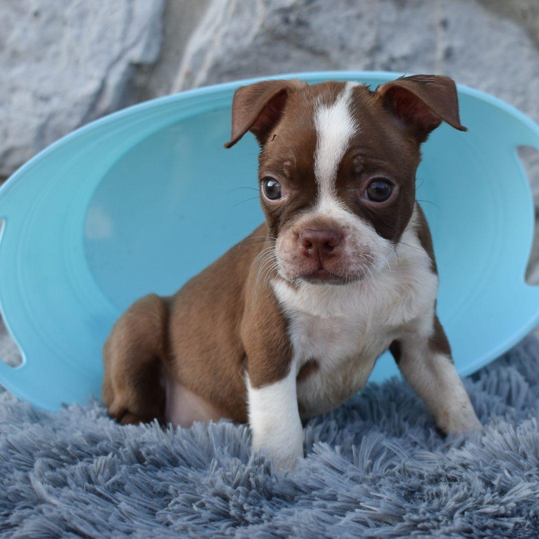 Sam - ACA Boston Terrier pup for sale at Liverpool, Pennsylvania