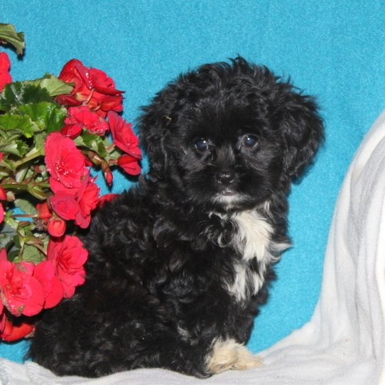 Scamper - male f1 Shihpoo puppie for sale at Quarryville, Pennsylvania