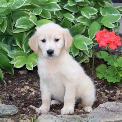 Scamper - Golden Retriever puppie for sale at Holtwood, Pennsylvania