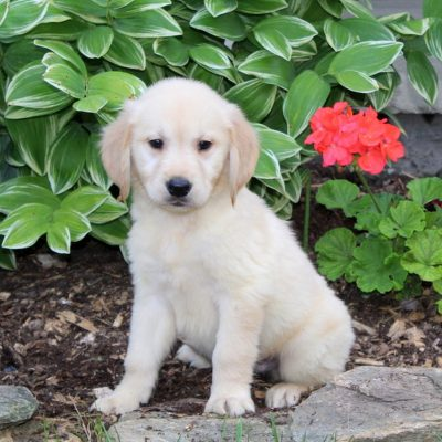 Shiloh - Golden Retriever doggie for sale near Holtwood, Pennsylvania