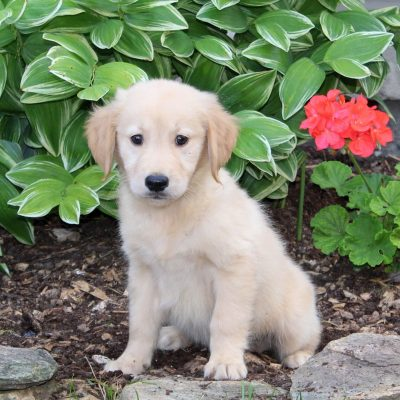 Skippy - Golden Retriever puppy for sale in Holtwood, Pennsylvania